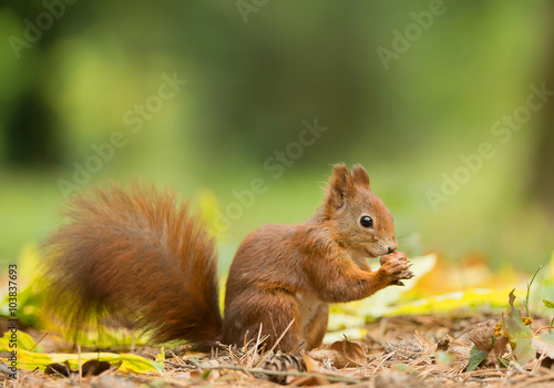 Foto op Plexiglas Eekhoorn European red squirrel with hazelnut, clean green background, Czech republic, Europe