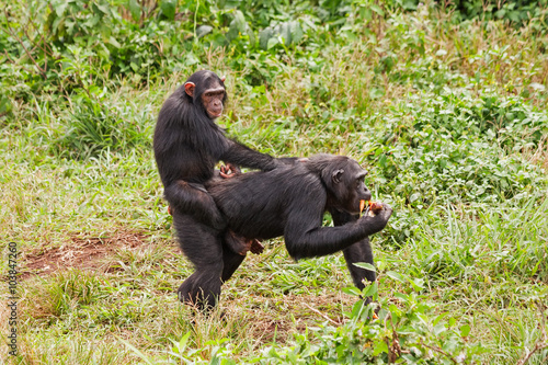 Fotografie, Obraz  Young chimpanzee straddles on mother back