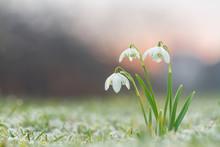 Galanthus Nivalis, Snowdrop Flowers With Beautifull Bokeh