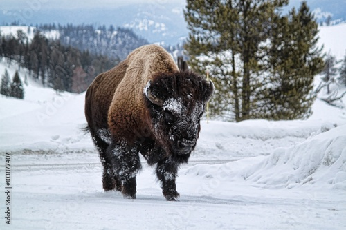 Aluminium Prints Bison Bison In The Snow of Yellowstone National Park