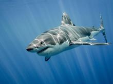 Great White Shark And Sun Rays