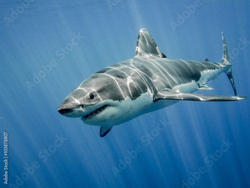 Fotografering  Great white shark and sun rays