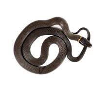 Ringneck Snake  (Diadophis Pu...