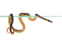 Ringneck Snake (Diadophis Punctatus)