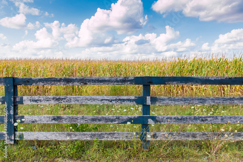 Yellow corn field and blue sky at late summer. Fototapeta