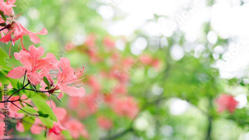 奥多摩本仁田山登山道脇にひっそりと咲く山ツツジ