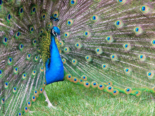 The Peacock Is The Most Beautiful Bird In The World And Peacock