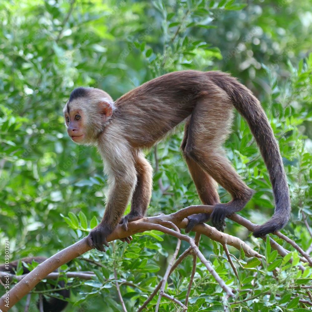 Valokuva  capuchin monkey cub on tree branch
