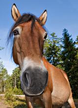 Funny Portrait Of Wildhorse Mare In Lojsta Hed, Gotland, Sweden. Roligt Porträtt Av Vildhäst Sto.