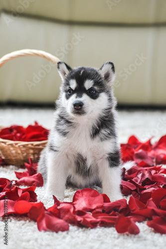 Foto op Aluminium Imagination Siberian husky puppy with blue eyes