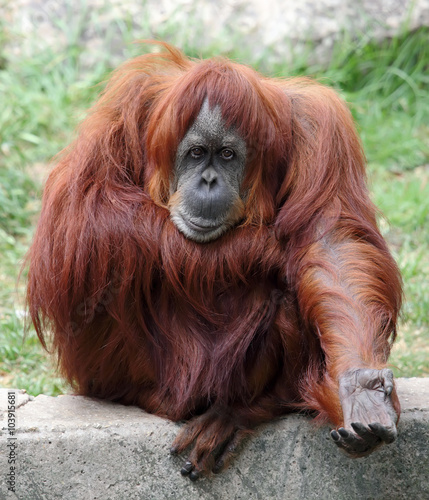 Wall Murals Ostrich Orangutan