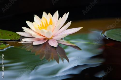 Poster de jardin Nénuphars waterlily flower