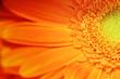 Leinwandbild Motiv Fiore arancione margherita