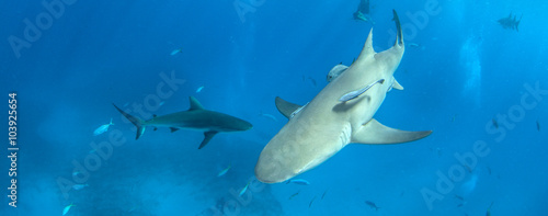 Foto op Plexiglas Dolfijnen Caribbean reef shark