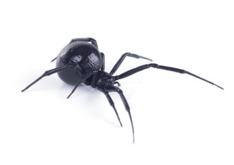 Fototapeta North American black widows spider, side view. Isolated on white