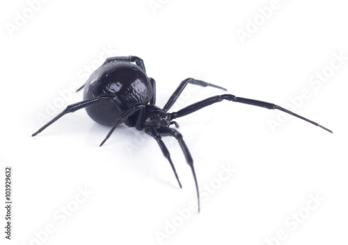 Photo  North American black widows spider, side view. Isolated on white