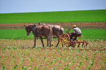 Lancaster County, Pennsylvania:  Amish Farmer At Work Tilling A Field Of Growing Produce With A Team Of Two Horses *