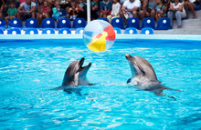 Two Dolphins Playing  In Dolphinarium