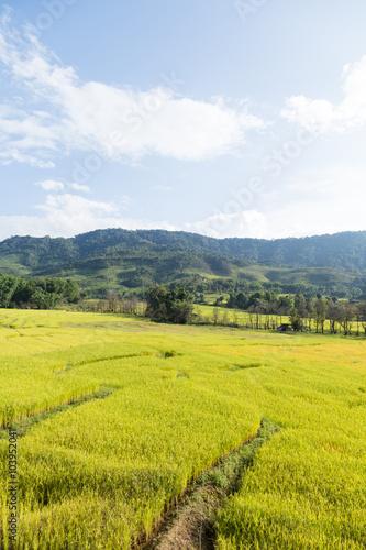Printed kitchen splashbacks Khaki Rice farm on the mountain