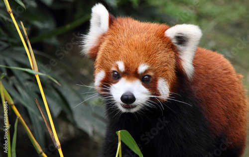 lovely red panda in Hong Kong Wallpaper Mural