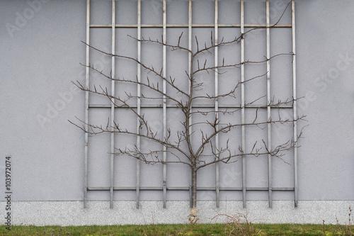 Zwetschgenbaum als Spalier gezüchtet