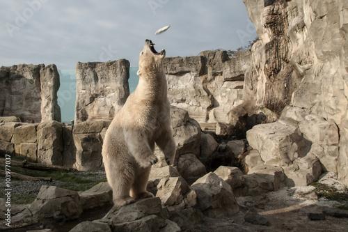 Füttterung des Eisbären im Zoo von Bremerhaven