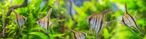 Fotografie, Obraz  Angelfish Pterophyllum scalare