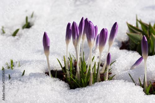 krokusy-w-sniegu