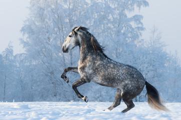 Fototapeta na wymiar Purebred horse prancing on winter meadow