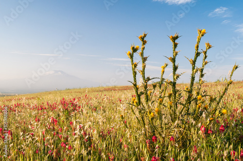 A plant of yellow marian cardoon and sulla flowers in the fields of the Catania Fototapeta