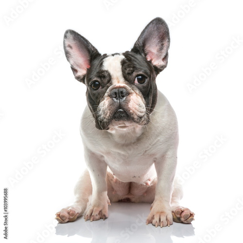 Poster Franse bulldog French bulldog on Whtie background