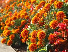 œillets D'Inde Oranges