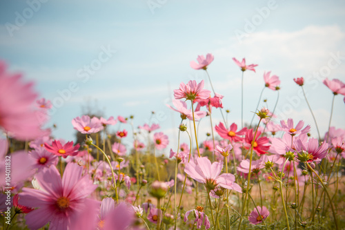 Poster Universe Cosmos flower blossom in garden
