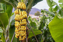 Banana Tree With A Bunch Of Gr...