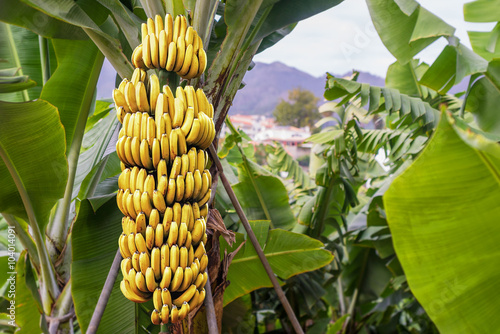Banana tree with a bunch of growing mature yellow bananas