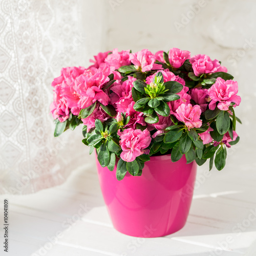 Tuinposter Azalea blooming azalea in pink flowerpot white rustic background