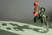 Three Withered Roses In A Vase And Its Shadow. Side View.