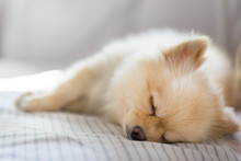 Pomeranian Dog Sleeping On The Sofa, With Copy Space