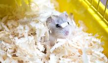 Cute Jungar Hamster In Sawdust