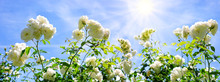White Roses Isolated On Blue Sky.