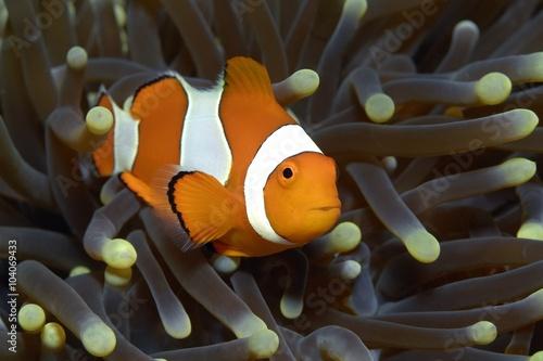 Fotografia  Clownfisch in Anemone
