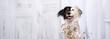 Lustiger, süßer Hund mit schwarz-weissen Gesicht mit einem