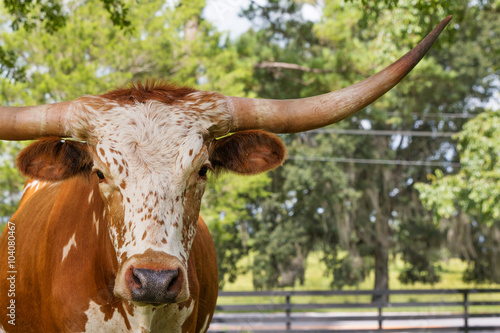 Poster Texas White and brown miniature Texas longhorn in grass field with fence starting looking curious