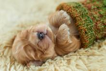 Sleeping Cocker Puppy