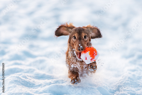 funny dog dachshund  jumps up in winter park Wallpaper Mural
