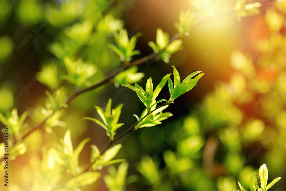 Fototapety, obrazy: Beautiful spring leaves in forest