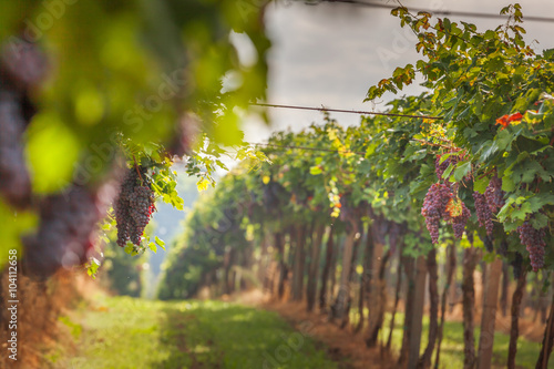 Deurstickers Wijngaard grape harvest