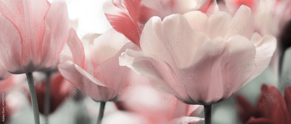 Fototapety, obrazy: pink tinted tulips