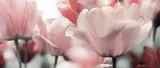 Fototapeta Kwiaty - pink tinted tulips