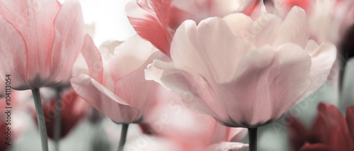 Photo  pink tinted tulips